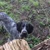 Pipper, chien Braque allemand à poil dur
