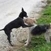 Pirate, chien Fox-Terrier