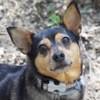 Pitta, chien Pinscher