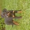 Pixelle, chien Rottweiler