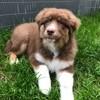 Plume, chien Berger australien
