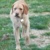 Pongo, chien Griffon fauve de Bretagne