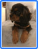 Pop, chien Cavalier King Charles Spaniel
