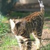 Pop Bengal Marty, chat Bengal