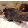 Popeye, rongeur Rat