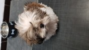 Popeye, chien Shih Tzu