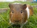 Pouet-Pouet, rongeur Cochon d'Inde