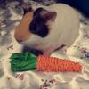 Poupie, rongeur Cochon d'Inde
