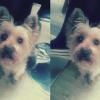 Praline, chien Yorkshire Terrier