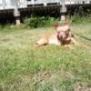 Prince, chien Pinscher