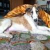 Prince Pouchkine Du Grand Sérail, chien Barzoï