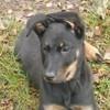 Princesse, chien Beauceron