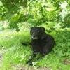 Prisca, chien Labrador Retriever