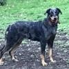 Prisca, chien Beauceron