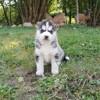 Peewa, chien Husky sibérien