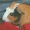 Prune, rongeur Cochon d'Inde