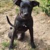 Pryska, chien Labrador Retriever