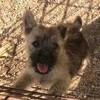 Puma, chien Cairn Terrier