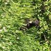 Pumba, chien Rottweiler