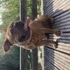 Pumba, chien Bouledogue français