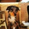 Pumba, chien Berger australien