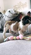 Punky, chien Bouledogue français