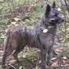 Pypa Extreme De La Forge, chien Bouvier des Flandres