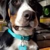 Qaly, chien Grand bouvier suisse