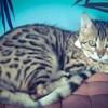 Quecha, chat Bengal