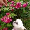 Queenie, chien Shih Tzu
