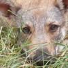 Rae, chien Chien-loup tchèque