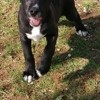 Ramses, chien Cane Corso