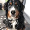 Rasta, chien Bouvier bernois