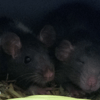 Photo de Ollywood, rongeur Rat - 407917