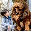 Raul Des Lions Du Tibet, chien Dogue du Tibet