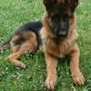 Raven, chien Berger allemand