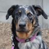 Raya, chien Beauceron