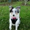 Rayna, chien Berger des Shetland