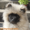 Odin Re Jan Moravia, chien Spitz allemand