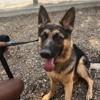 Rebelle, chien Berger allemand