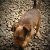 Red Cookie, chien Russkiy Toy