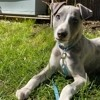 Replay, chien Whippet