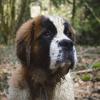 Reya, chien Saint-Bernard