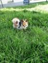 Riley, chien Chihuahua