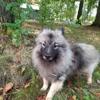 Ringo, chien Spitz allemand