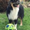 Rio, chien Berger australien