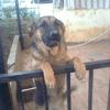 Rita, chien Berger polonais de plaine