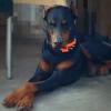 Rocco, chien Dobermann