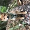 Rocky, chien Berger australien