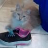 Rocky, chat Sibérien
